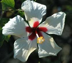 Hibiscus white wing bloom up close showing red throated white petals