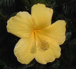 Hibiscus fort meyers yellow bloom up close S & J Nursery St. Augustine Florida