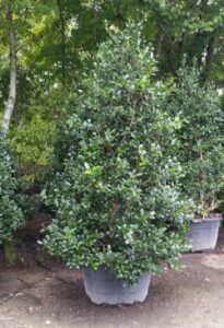 Holly Nelly R Stevens in a nursery container
