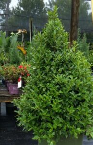 Oakleaf Holly Nursery Container St. Augustine Florida
