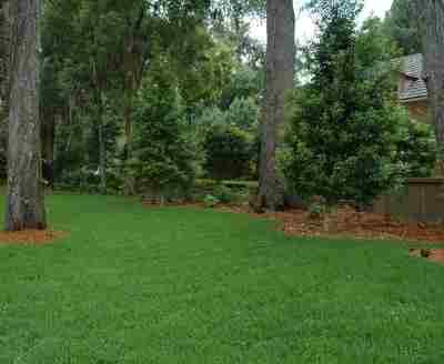 Eagleston Holly trees in the Landscape Jacksonville Florida