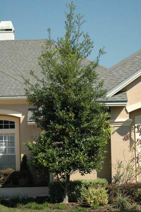Hlly East Palatka in the Jacksonville Florida Home Landscape