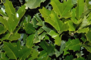 Oakleaf holly Foliage up close Jacksonville Florida