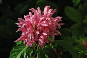 Justicia Carnea Jacksonville Florida landscape Braqzillian plume flower