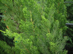 Juniper Torulosa Hollywood Juniper up close foliage showing bright green new growth St. Augustine Florida