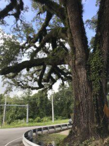Live Oak Tree Jacksonville Florida
