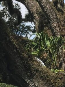 Palm tree growing out of the crook in the limbs of a giant Live Oak tree Jacksonville Florida