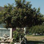 Loquat Japanese plum Tree in the Jacksonville / St. Augustine Florida Landscape