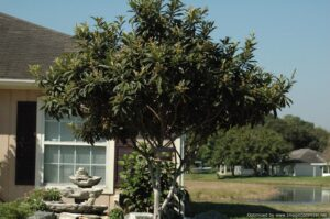 Loquat Japanese plum Tree in the Jacksonville / St. Augustine Florida Landscape