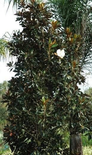 Little Gem Mangolia landscape specimen Jacksonville Florida