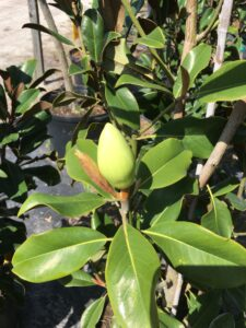 Southern Magnolia unopened flower bud