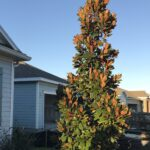 Brakens Brown Beauty Magnolia in the St. Augustine Florida home landscape