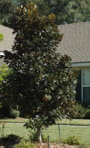 Little Gem magnolia in the St. Augustine Florida home landscape