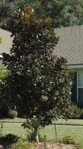 Little Gem magnolia grandiflora in the St. Augustine Florida home landscape
