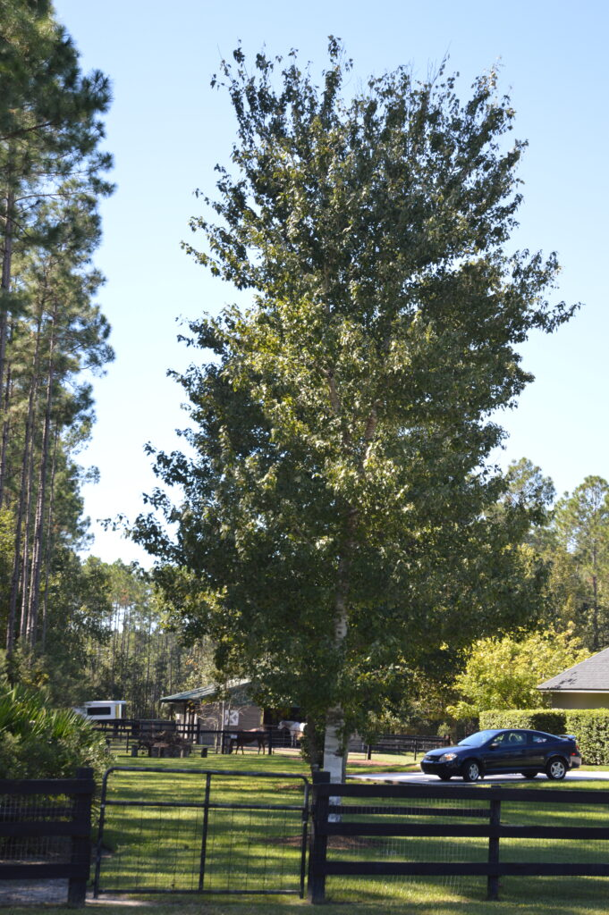 Florida Native Red Maple tree in the home landscape