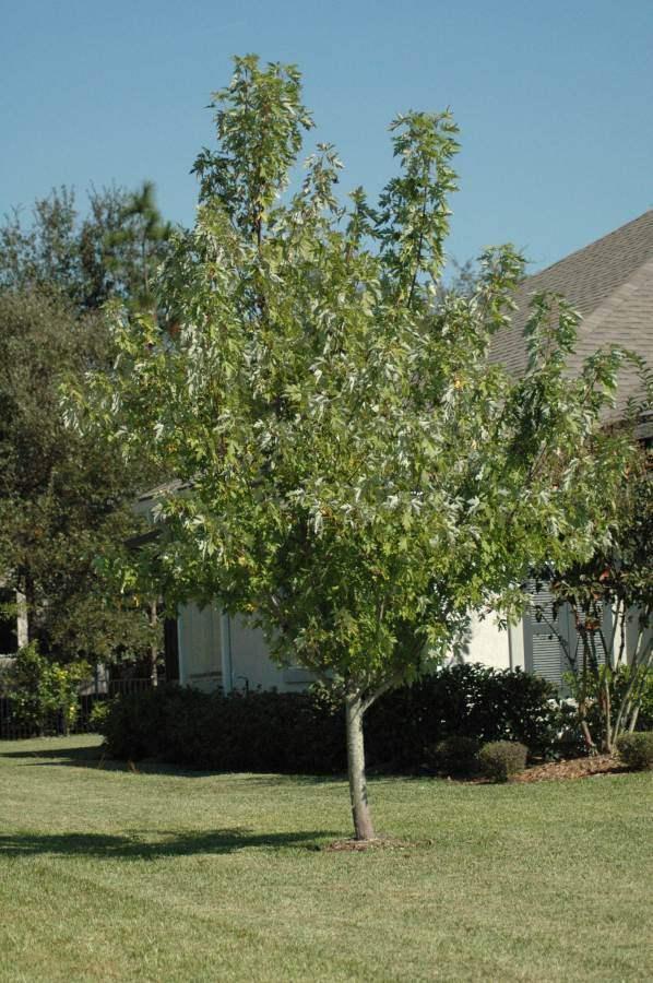 silver maple tree St. Augustine Florida