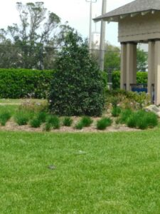 Nelly r Stevens Holly Small to medium Sized trees for Northeast Florida - holy in a commercial planting