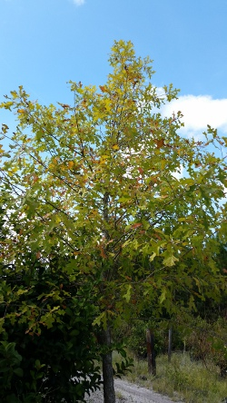 Overcup Oak tree Northeast Florida