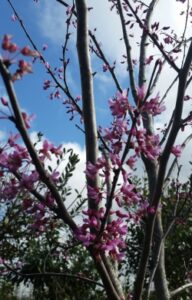Eastern Redbud blooms up close