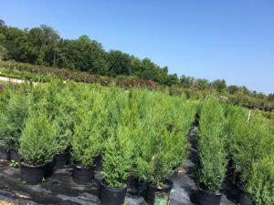 Red Cedar nursery crop 7 gallon pots