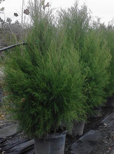 REed Cedar nursery crop
