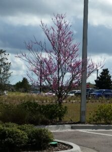 Red bud tree St. Augustine Florida in a commercial planting
