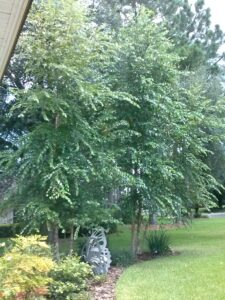 River Birch Tree in the home landscape Northeast Florida