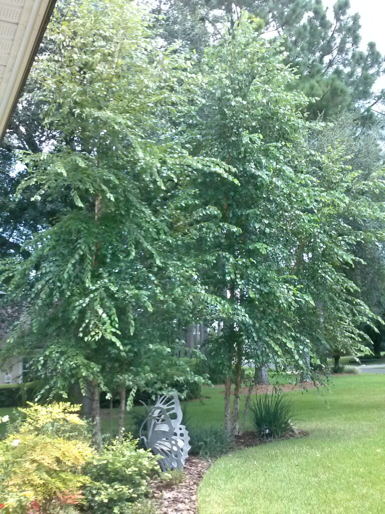 River Birch Tree in the home landscape Northeast Florida
