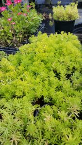 Sedum angelina foliage in summer