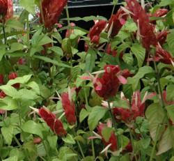 ShrimP Plant Red Justicia beloperone