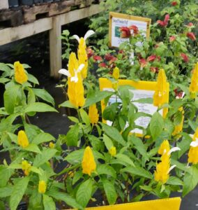 Golden Shrimp Plant  / Yellow shrimp plant St. Augustine Florida
