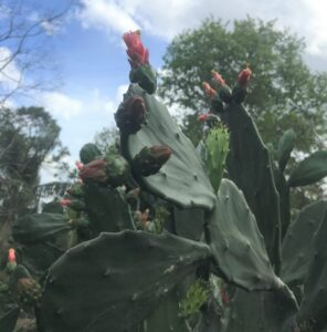 Spineless prickly pear cactus Flowering