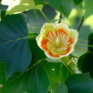 Tulip Poplar foliage and bloom up close