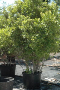 Wax Myrtle in a nursery container 30 gallon pot