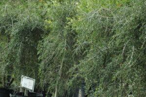 Foliage up close of the weeping yaupon holly tree