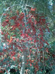 Yaupon Holly berries on a female tree