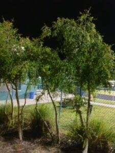 Weeping youpon planted as a privacy screen at a public park Jacksonville Florida
