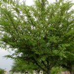 Winged Elm Tree in a commercial planting Jacksonville Florida