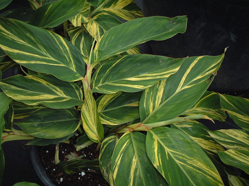 Ginger Variegated Shell foliage up close in a nursery container
