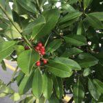 Dahoon Holly foliage up close