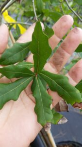 Laurel oak Leaves up close in hand showing size of leaf blades
