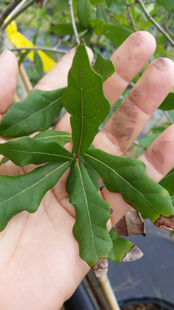 Laurel oak Leaves up close in hand showing size of leaf blades
