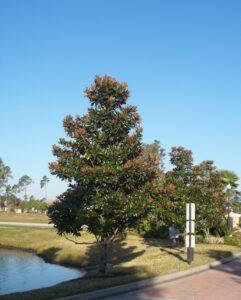 Magnolai D.D. Blanchard Magnolia grandiflora in the St. Augustine Florida Landscape