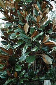 Magnolia D.D. Blanchard Foliage up close St. Augustine Florida