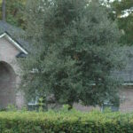 Live Oak in the St. Augustine area Landscape