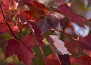 Red maple Fall foliage color