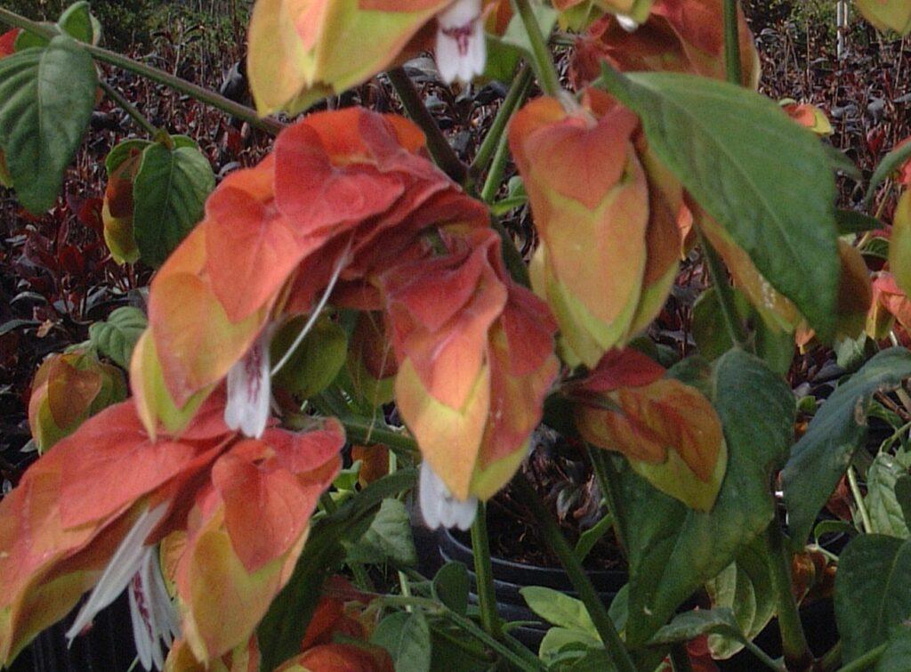 Shrimp plant orange red St. Augustine Florida blooms up close