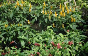 Red and Yellow shrimp plants together