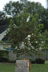 Sycamore tree in the Northeast Florida home landscape