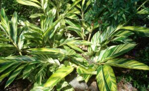 Variegated Shell Ginger growing in partial sun and partial shade in the St. Augustine area Landscape